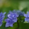 紫陽花20200609-⑤