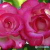 シリーズ薔薇IMG_4617(201113)寄り添うように・・・