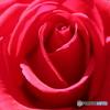 シリーズ薔薇 IMG_4477