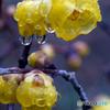 雨上がり満月蝋梅