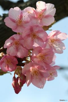桜の里・河津桜 2007-①