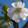 十月桜と冬桜-➁