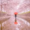 桜の花の散るころに
