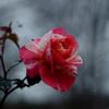 薔薇(ポール・ゴーギャン)
