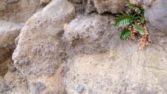 岩かげに生える