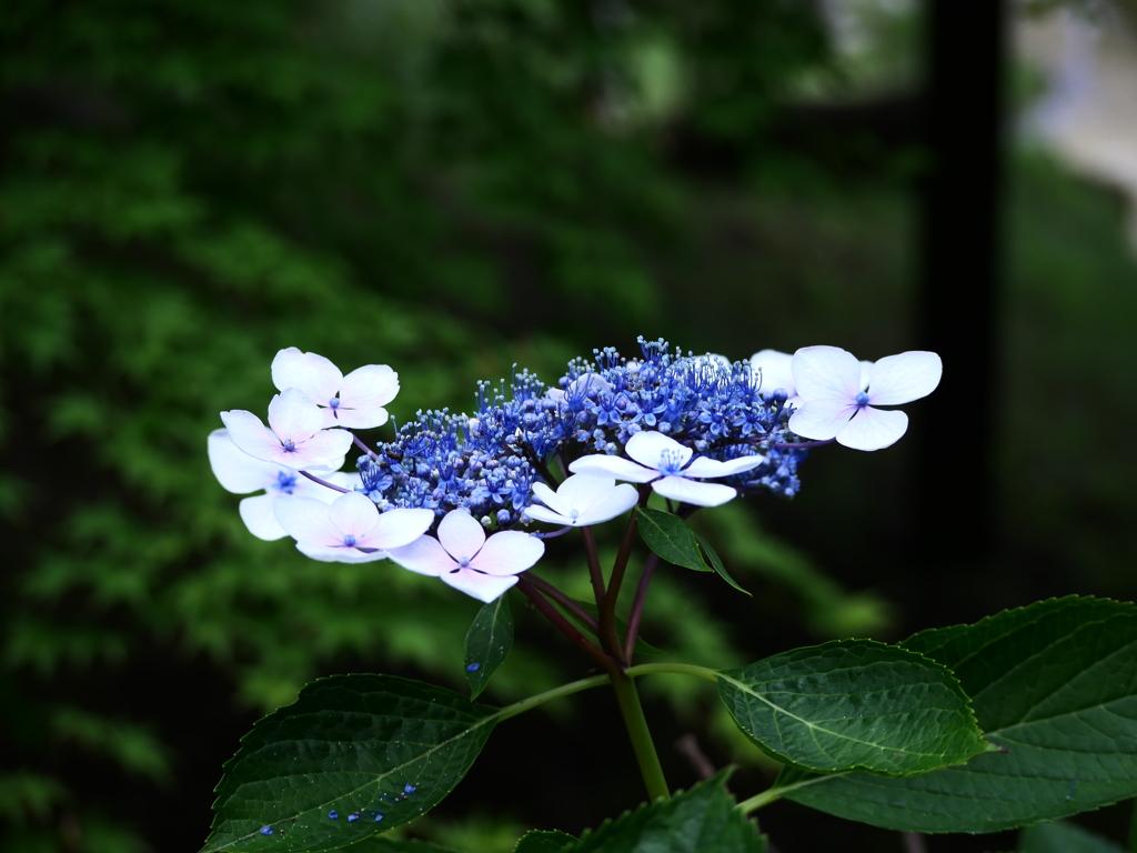 散りはじめの紫陽花