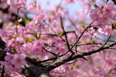 河津桜~春の訪れ~