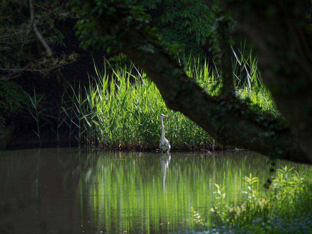 アオサギの居る風景2
