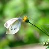 秋の紋白蝶