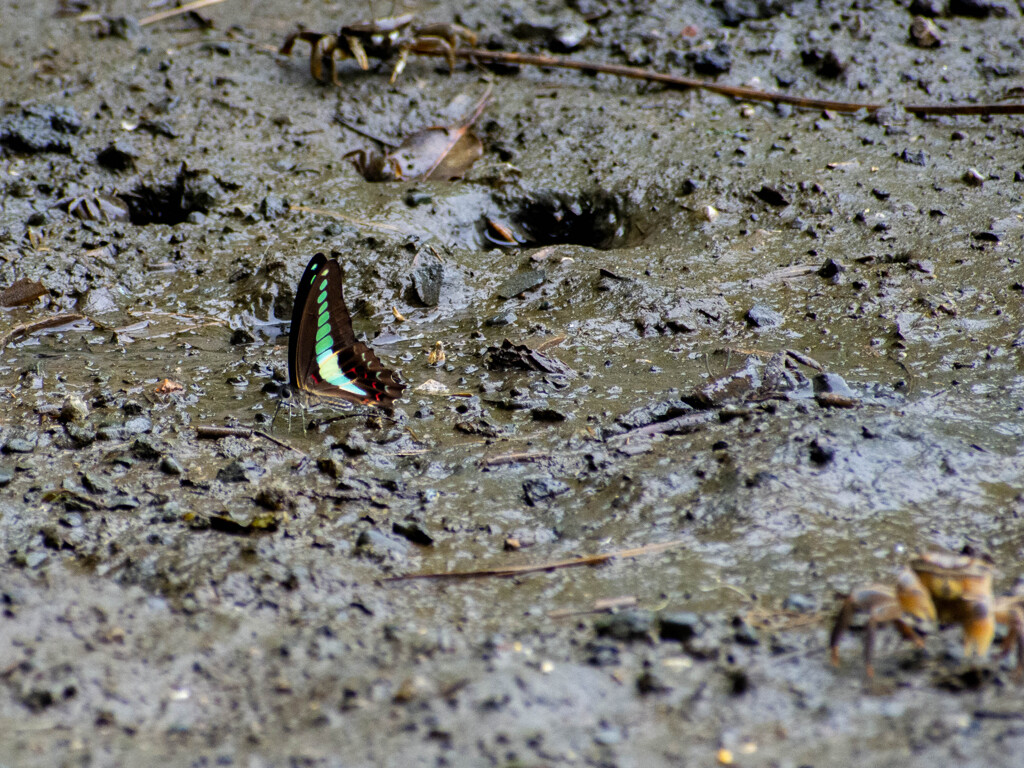 アゲハ蝶と蟹(なんか違和感)