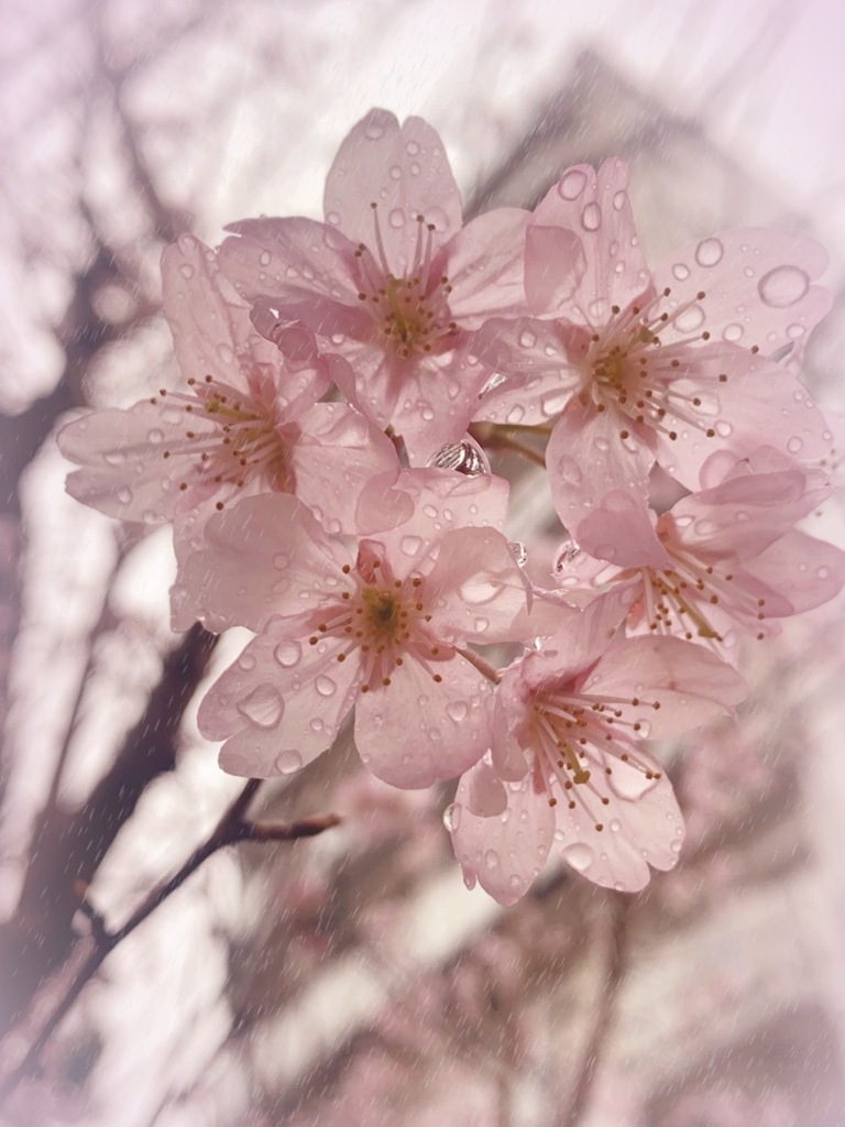 春雨に桜 Kaoru
