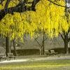 春の黄幻樹