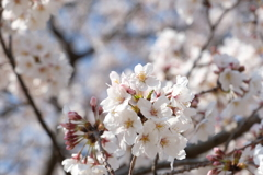 20200326柏の桜③