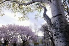白樺とさくら