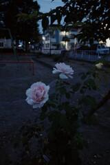 夜明け前のバラ