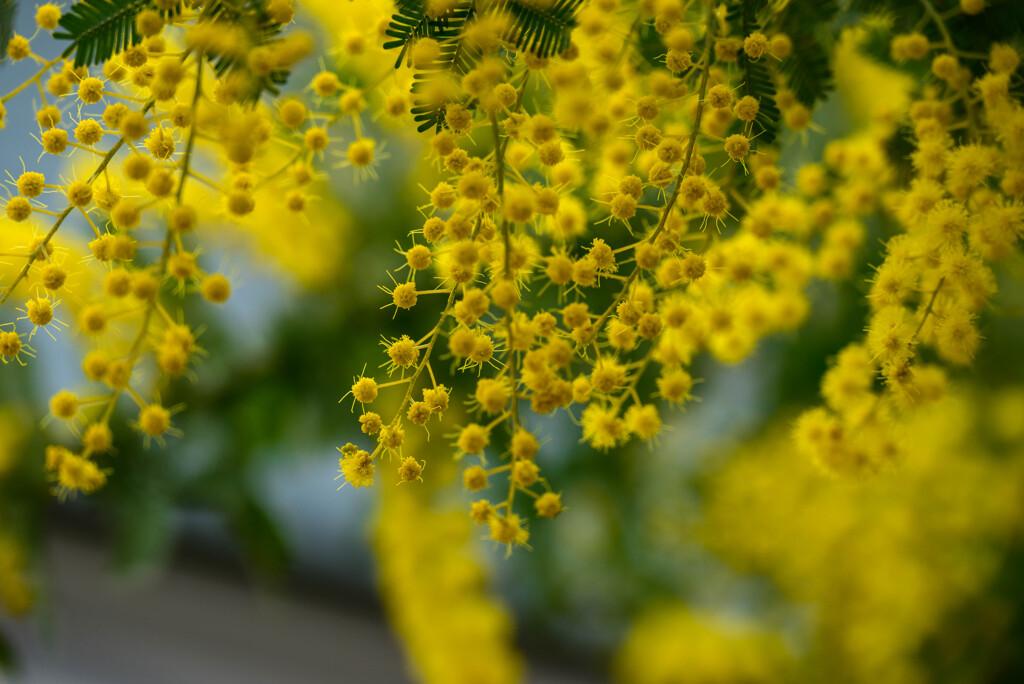 2021花の文化園 ミモザ3