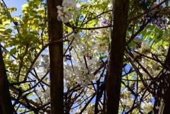 白い藤の花3