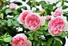 2021薔薇18