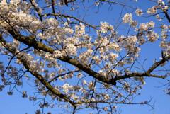 2021大阪城公園の桜23
