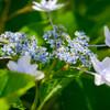 庭に咲いたガクアジサイ5