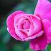中之島公園バラ園のバラ6