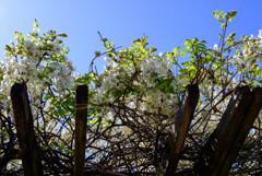 白い藤の花4