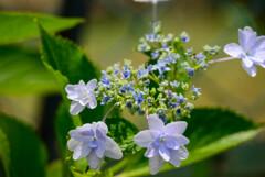 庭に咲いたガクアジサイ8