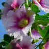 2021近所で咲いて立葵9