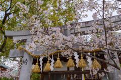桜咲く神社の風景3