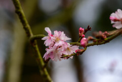 2021花の文化園 十月桜2