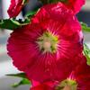 2021近所で咲いて立葵12