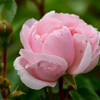 2021薔薇3