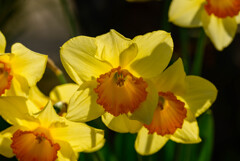 大阪城の黄色い水仙3