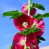 2021近所で咲いて立葵3