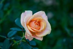 中之島公園バラ園のバラ1