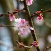 2021花の文化園 十月桜3