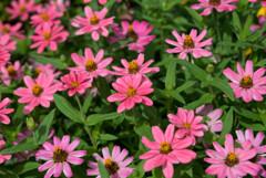 プランタで咲いてた花2