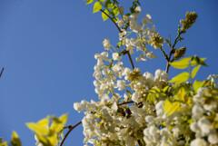 白い藤の花2