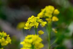 2021花の文化園 菜の花1
