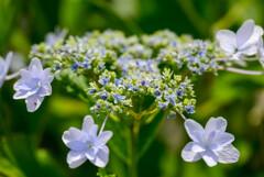 庭に咲いたガクアジサイ9