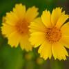 庭で咲いてた黄色い花5