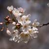 2021大阪城公園の桜5