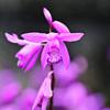 庭に咲いたシラン13