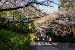 2021大阪城公園の桜22