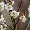 2021花の文化園 白梅(一重)4