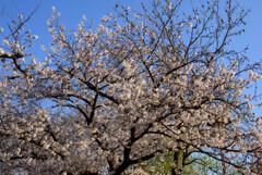 2021大阪城公園の桜25