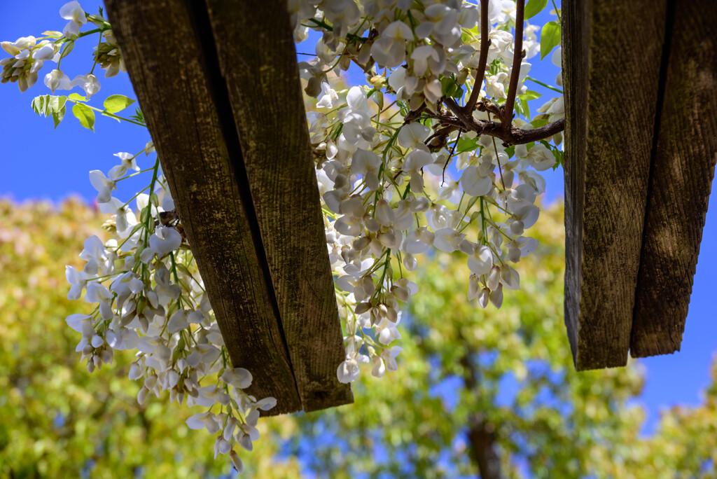 白い藤の花10