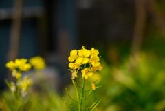 2021花の文化園 菜の花5