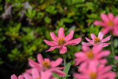 プランタで咲いてた花5