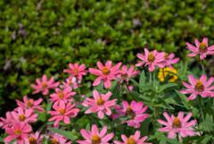 プランタで咲いてた花3